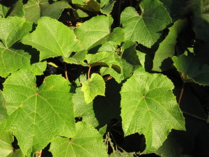 Organic Grape Leaf Extract Tincture